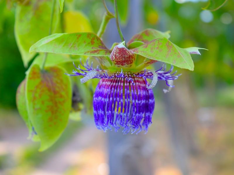 Los Llanos Kolumbien Blüte