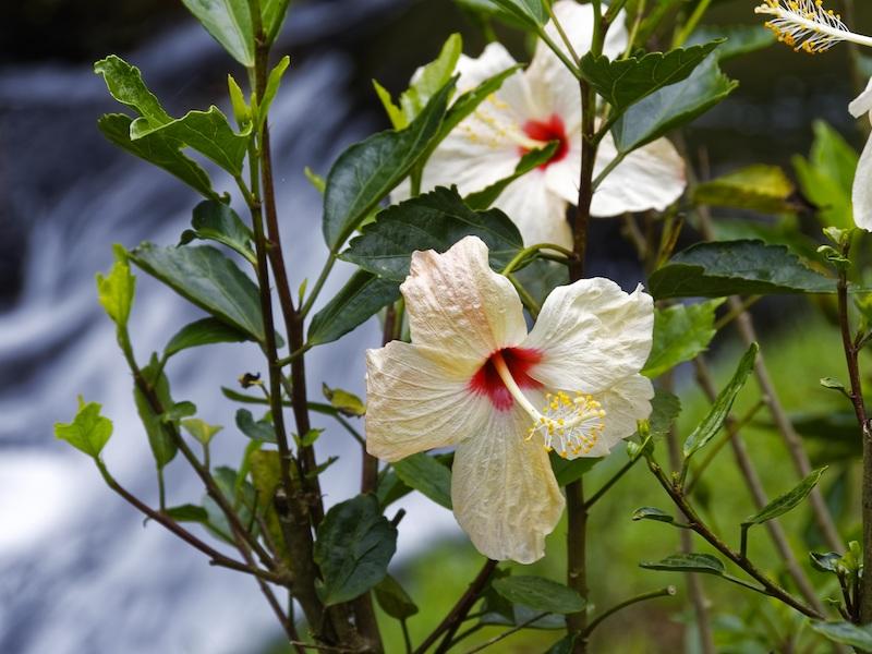 Kolumbien Pazifik weiße Blüte